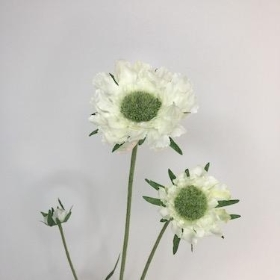 Ivory Scabious 65cm